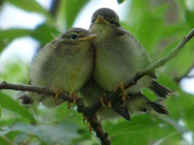 "Everyone say ""awwww""- three newly-fledged willow warblers"