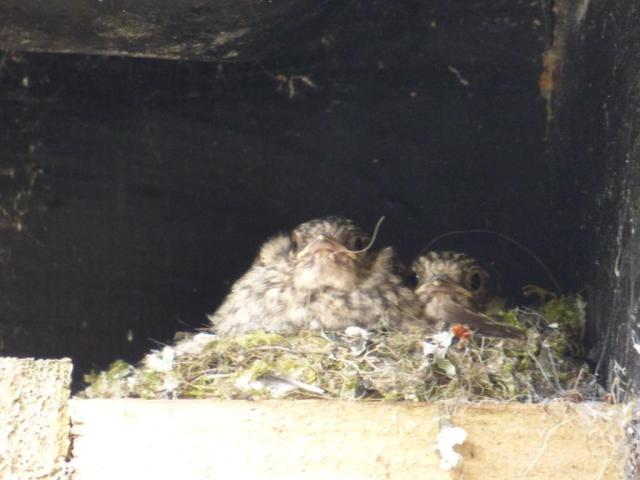 potted flycatchers just before fledging
