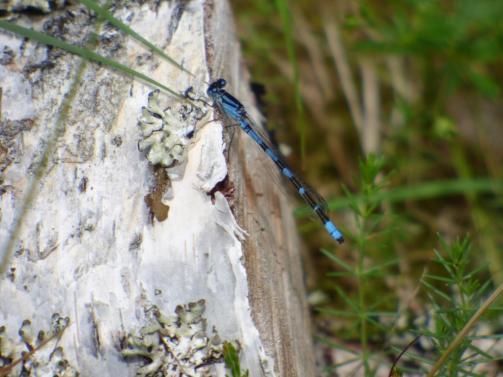 Common blue damselflies continue to fly around the loch in the sunshine