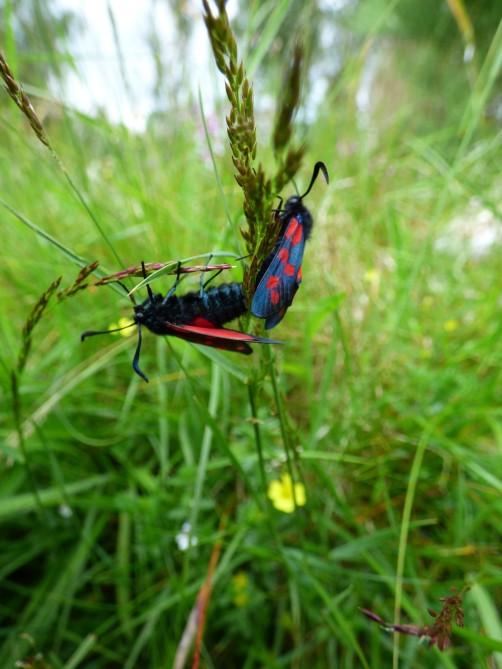 Six-spot burnet moths busy mating