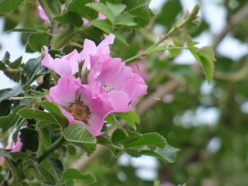 Dog roses flowering around Loch Kinord smell fantastic and attract the buzz of bumblebees.