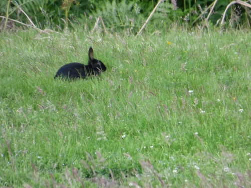 There are at least 3 dark-coloured melanistic rabbits around the reserve.