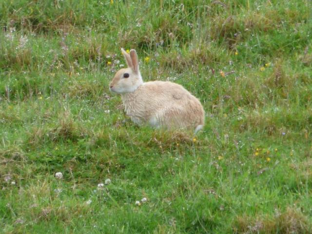 Pale coloured rabbit