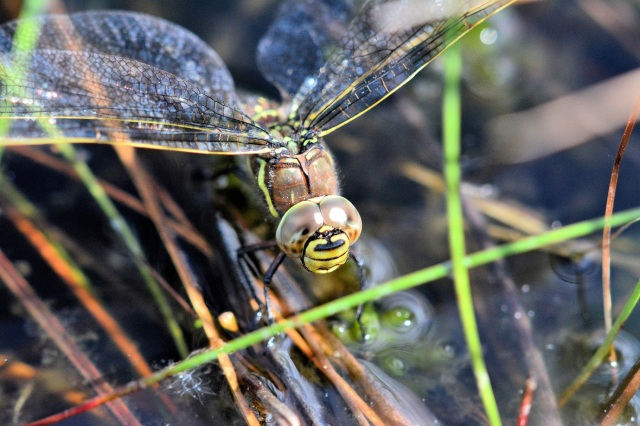 You can see the huge eyes on this female common hawker