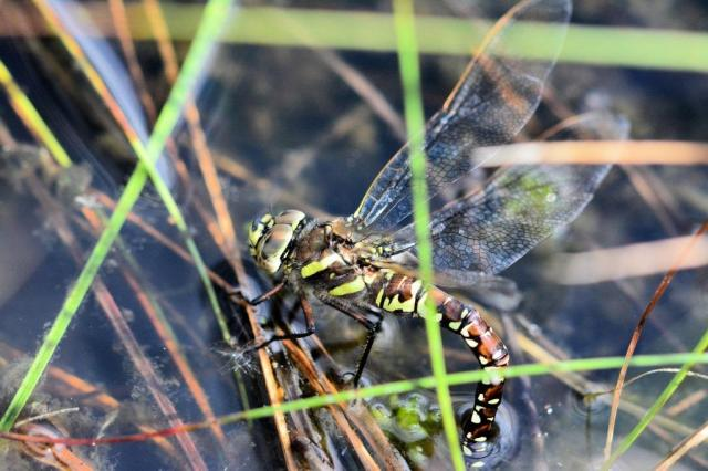 Common hawker egg laying in ditch