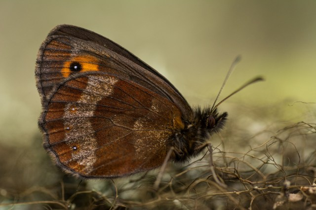 Scotch argus showing underwing