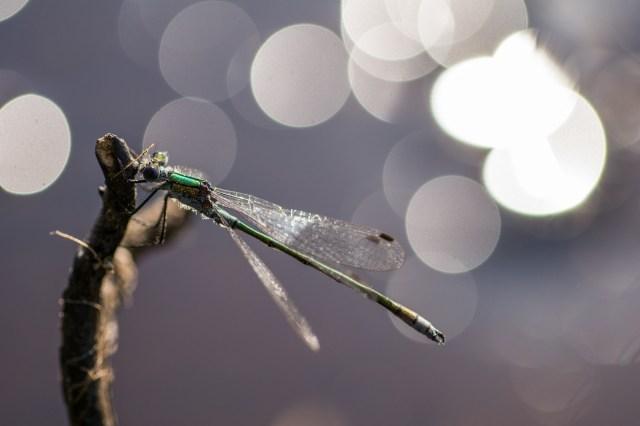 Male emerald damselfly