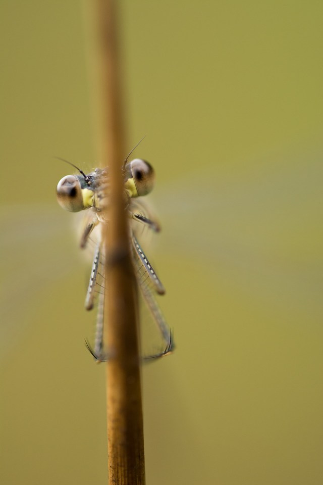 Shy damselfly, trying and failing to hide behind a rush