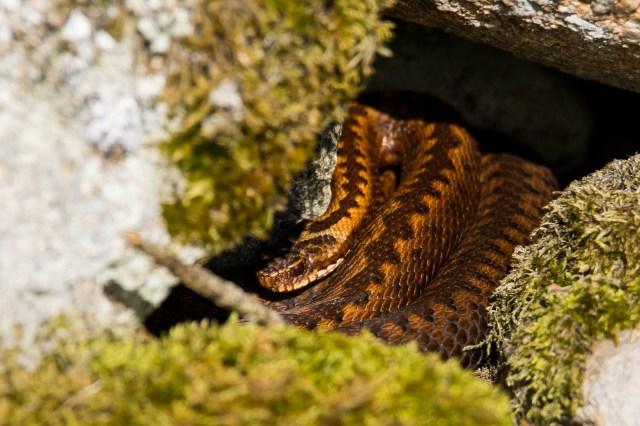 Shy adder under a rock