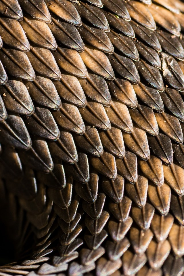 An intiimate close-up of the scales on an adder