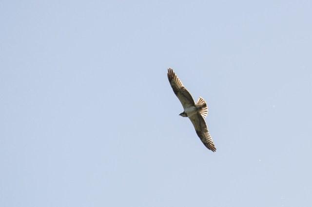 Backlit osprey