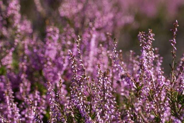 Bonny purple heather