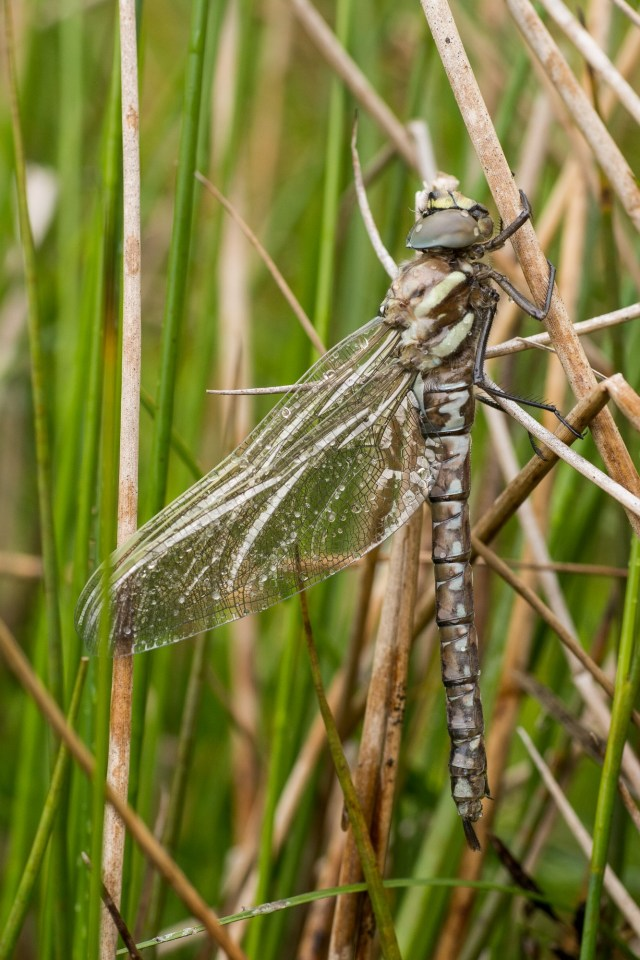 Newly-emerged common hawker