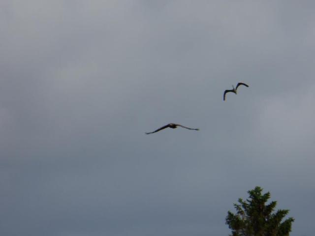 incoming! herons are a favourite prey of sea eagles