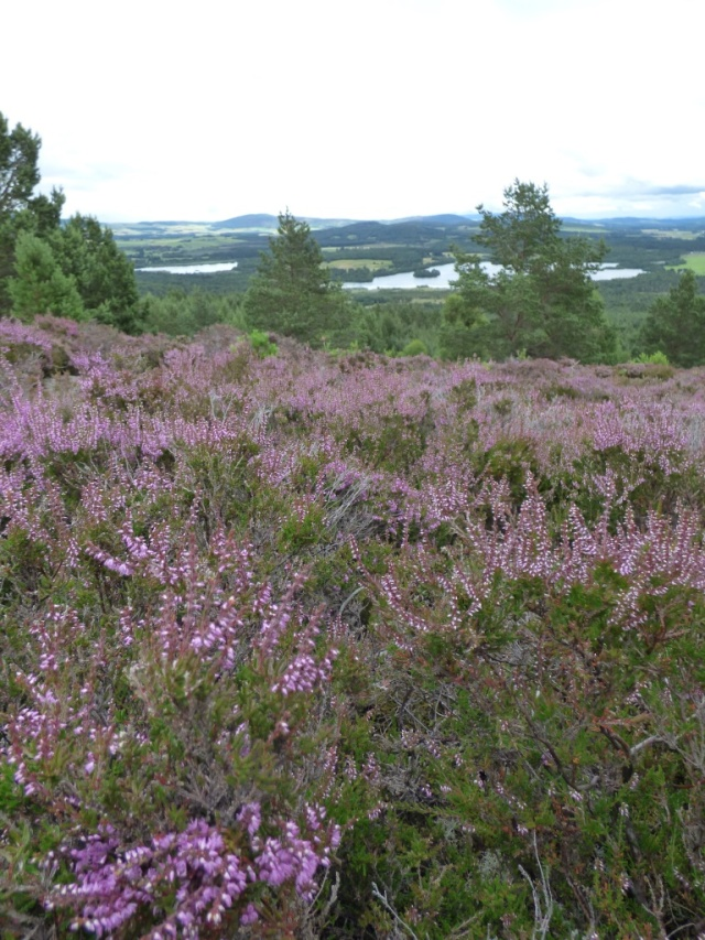 The heather is coming out