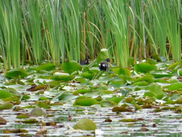 Moorhens lily trotting