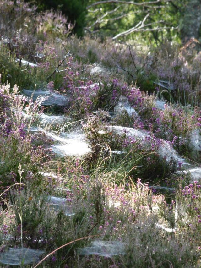 Dew covered webs