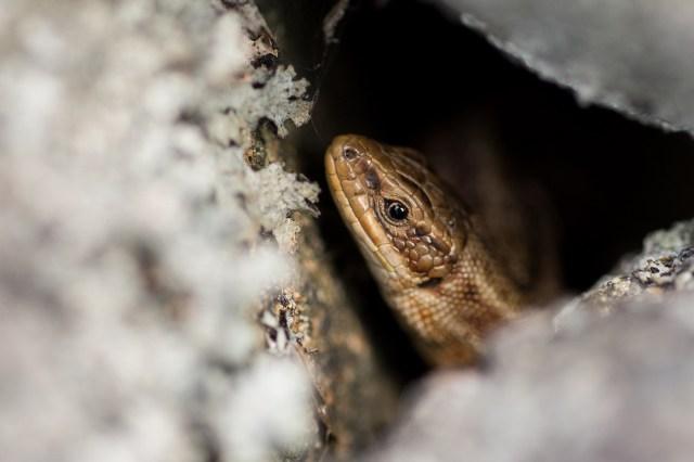 Common lizard hiding in dyke