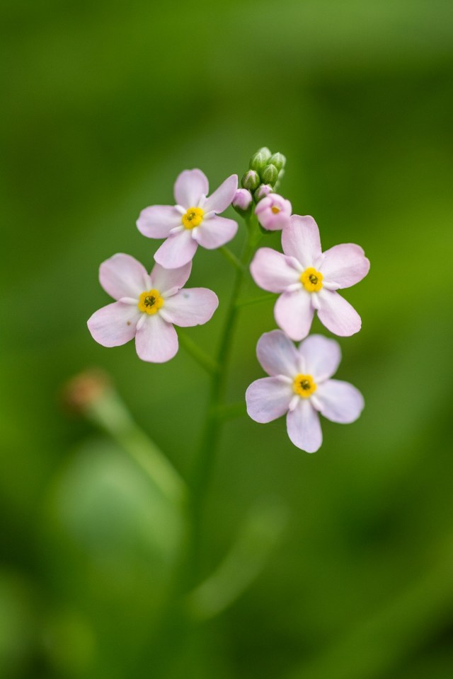 Water forget-me-not sometimes produces pink, not blue, flowers