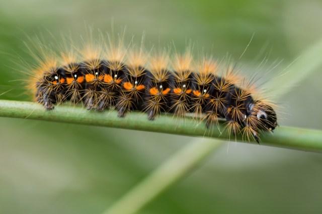 Light knot-grass moth (Acronita menyanthidis) caterpillar