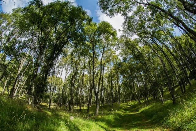 Birch wood -still green