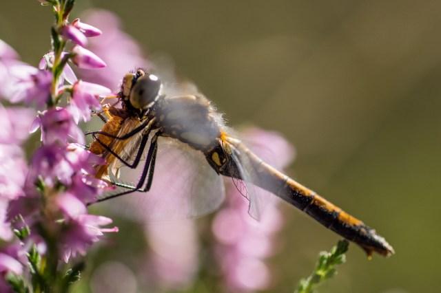 Black darter eating caddisfly