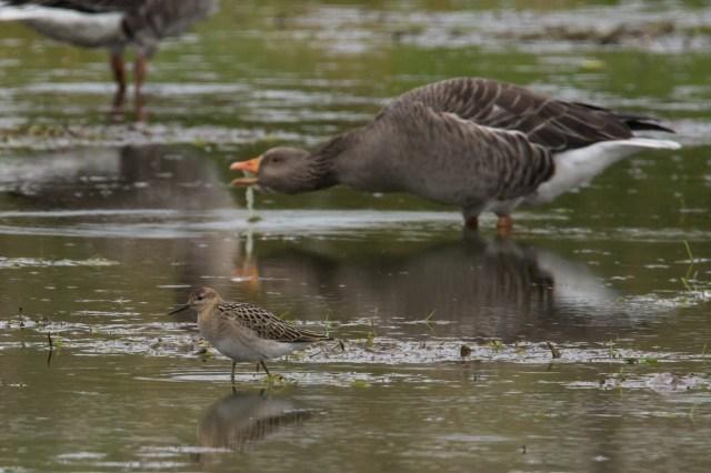 A ruff alongside feeding Kinord geese