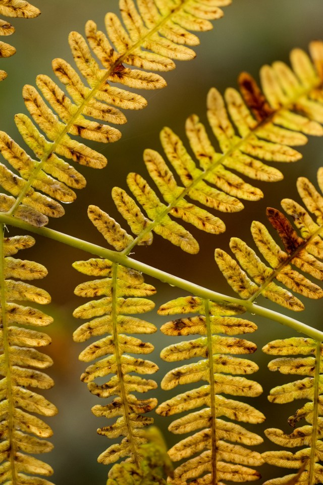 Bracken turning yellow