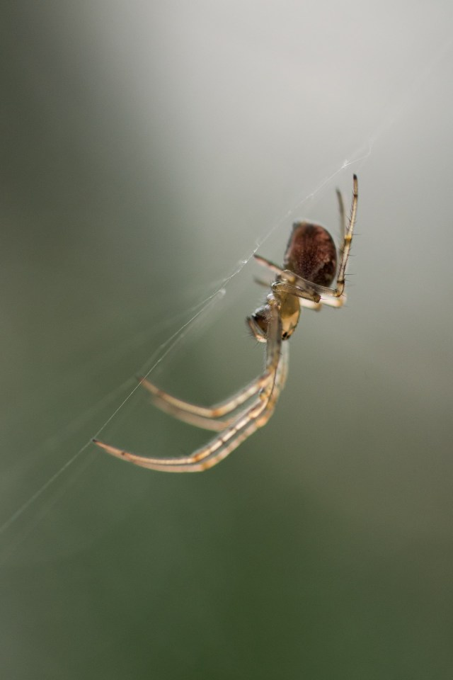 Spider - one of many in the vegetation at the moment