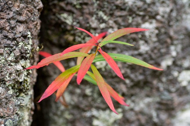 red rosebay willowherb