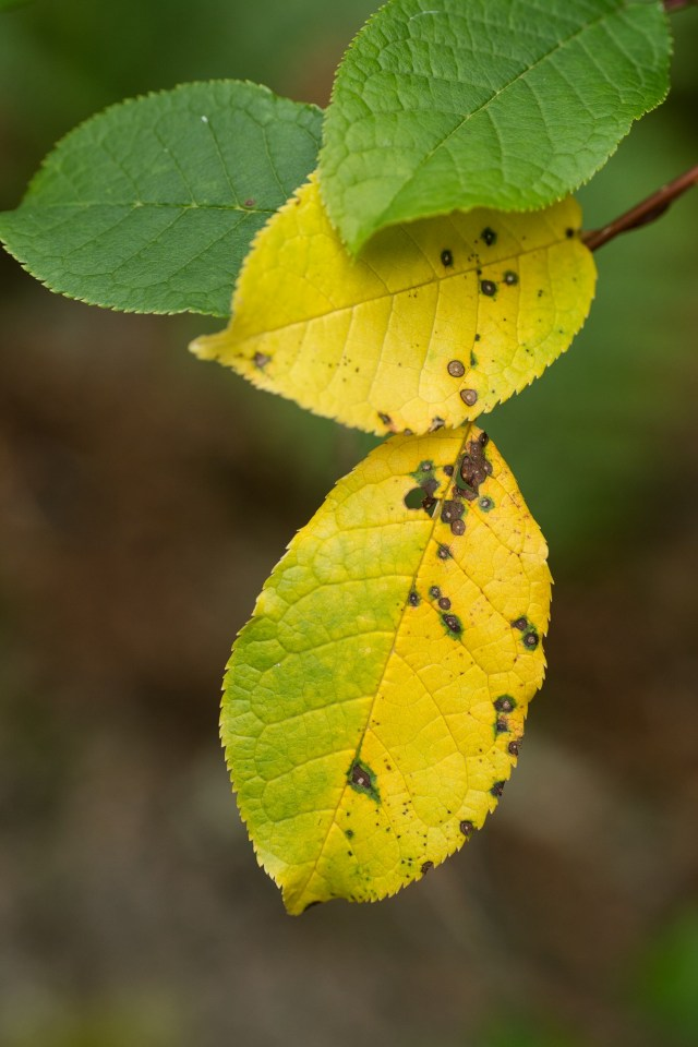 Bird cherry leaves revealing yellow carotenoid pigments