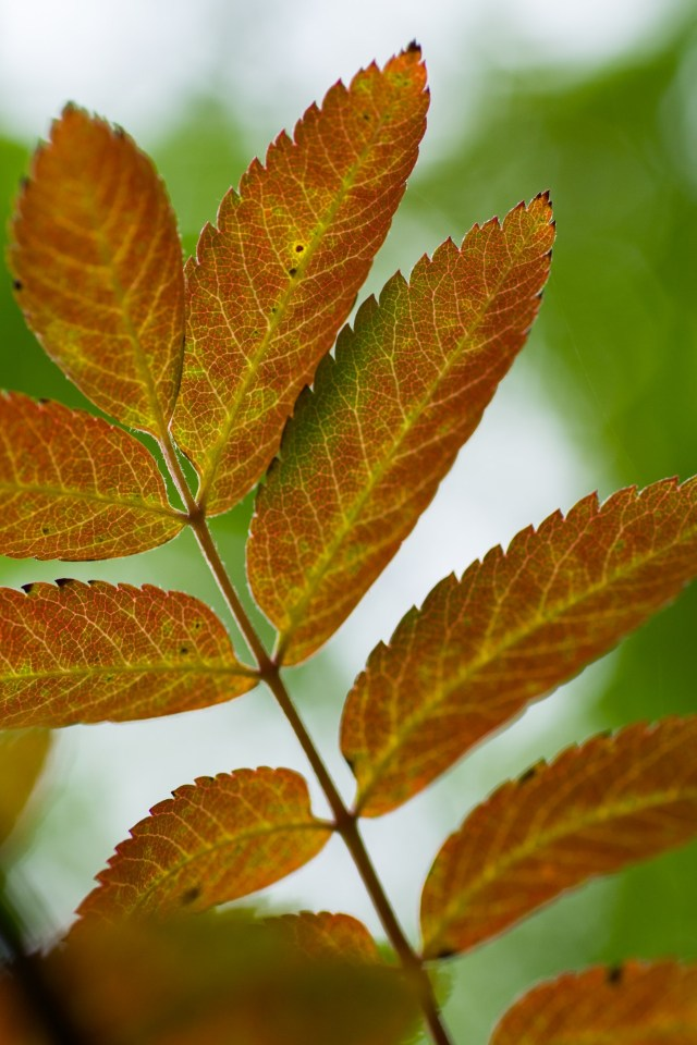 Rowan leaves turning red