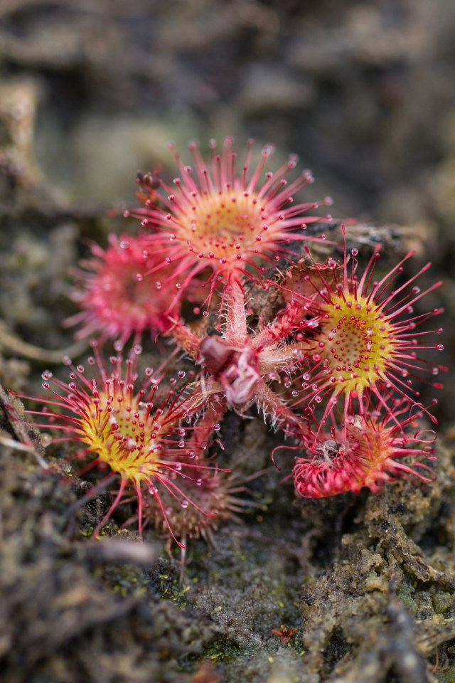Dark red sundew