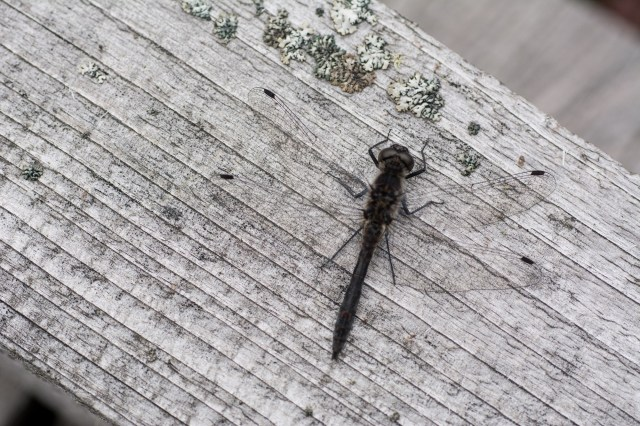 Male black darter sunning on the boardwalk