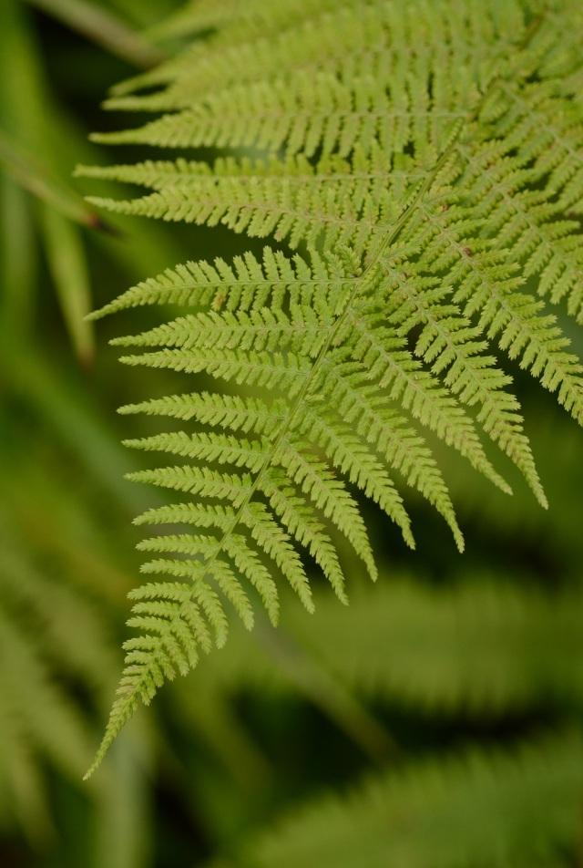 The finely-divided lady fern (Athyrium filix-femina)