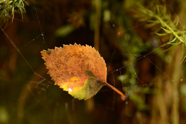 Fallen birch leaf in a spider's web