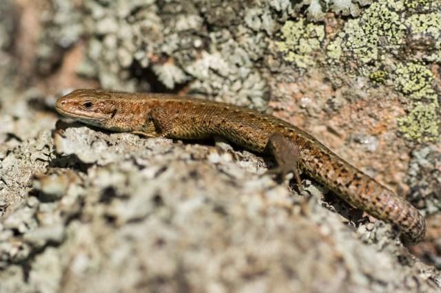 Adult lizard basking