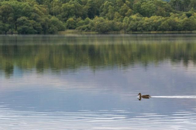 Duck enjoying the calm loch