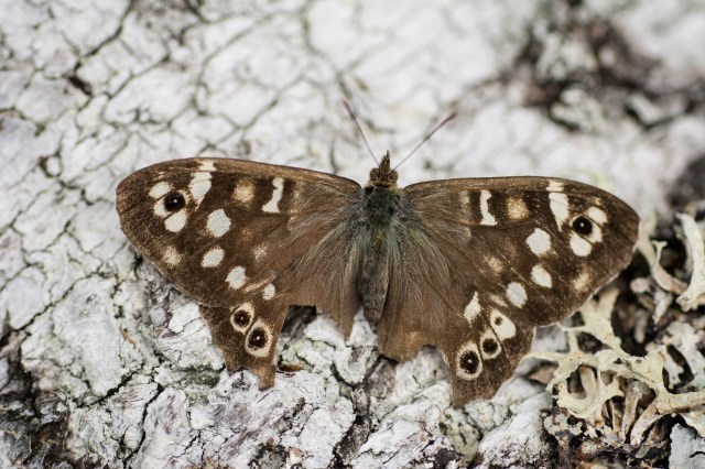 A worn speckled wood