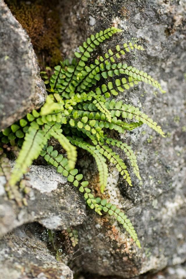 Maidenhair spleenwort in the ruined buildings at Bogingore