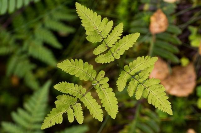 A delicate oak fern (Gymnocarpium dryopteris)