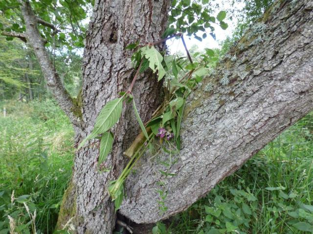 Balsam left up tree to die