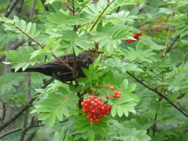 The young blackbird is taking advantage of the rowan berries