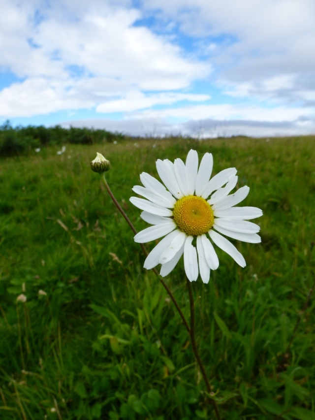 "There are still a few late ""gowans""- ox eye daisies- in flower"