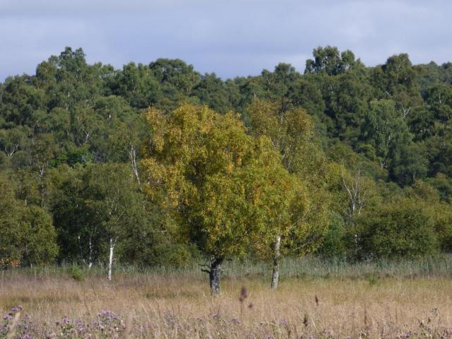 But some of the birches are starting to got a bit yellow