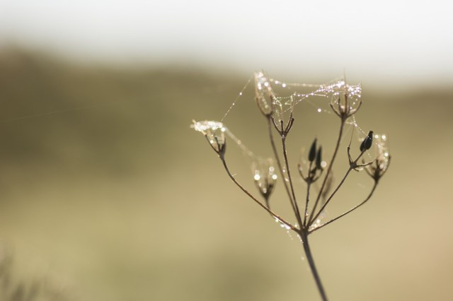 Dew on an old umbellifer flower head