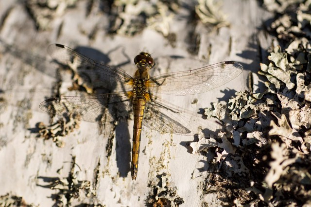 Female black darter warming up