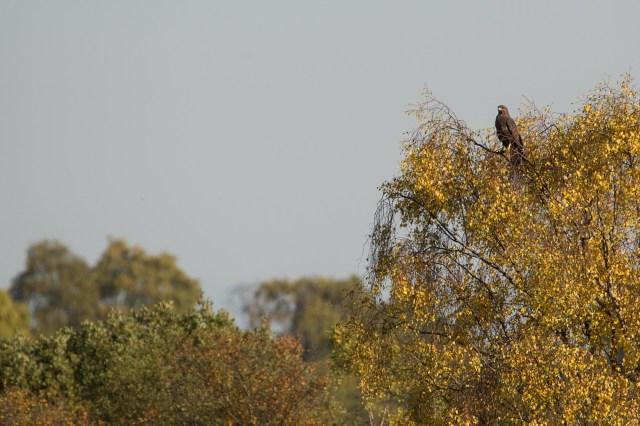 Buzzard perched in the sun