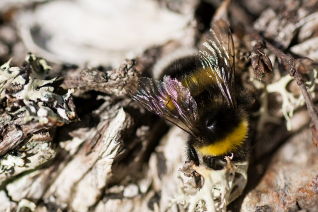 Large fertile female bumblebee