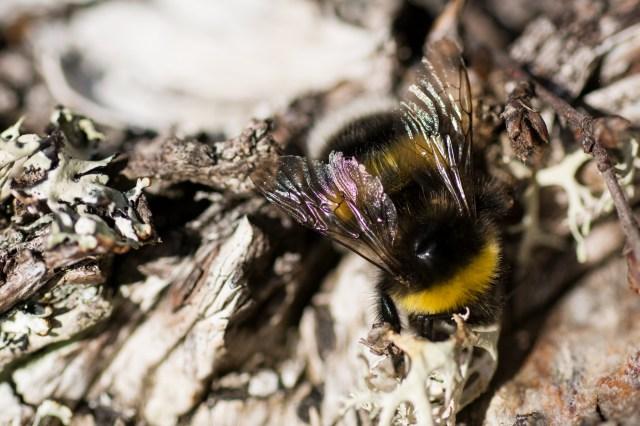 Large fertile female bumblebee